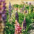 Lupins on the roadside