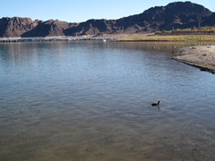 Lake Mead Duck