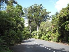 """Darby & Joan"" Kauri - Waipoua Forest"